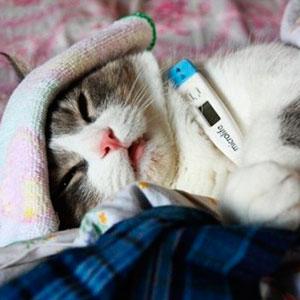 гепатит у кошки