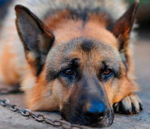 лимфосаркома у собак лечение