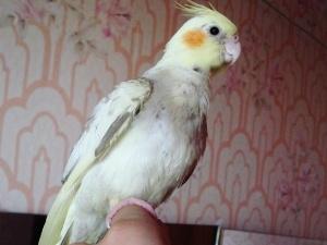 Орнитоз у попугая