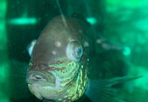пучеглазие у рыбки