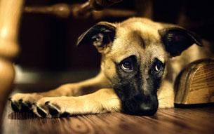 собака повредила сустав