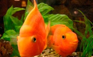 туберкулез у рыб